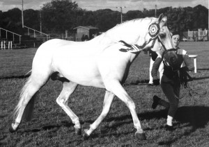 1995,96,99 Conquistador VII Nat CH Stallion