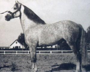 DESTINADO II - Born 1931, by Americano ex Destinada