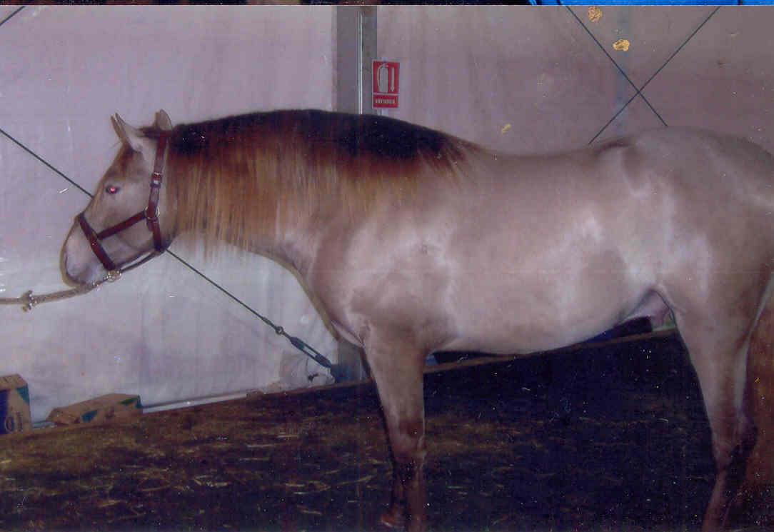 Pre Coat Colours Their Genetic Inheritance The British Association For The Pure Bred Spanish Horse