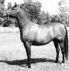 Gaeta, 5yr Spanish mare from Y de Ecija