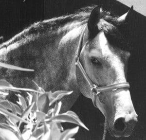 Grey colt head looking back Greyscale