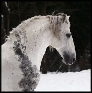 Non-Greying region of Black hair on White-Grey stallion