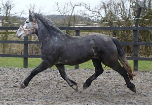 Silvana - Spanish Norman filly 4yrs 5