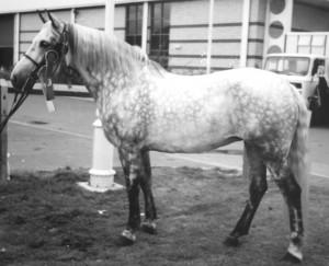Tumbledown, Freya partbred mare by Ultimado II - adult standing