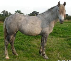 Rancar Delilah at 2yrs - Spanish Norman filly