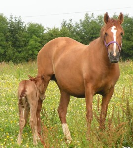 Ultrafina and Zaragoza 12hrs old - first foal
