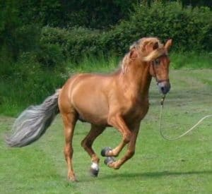 Chestnut with Flaxen mane & tail - PRE Stallion